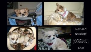 LOOSDRECHT vakantiepark de Boomhoek  Nieuwloosdrechtsedijk NAUGHTY (chip) teef Chihuahua  20-1-13 B