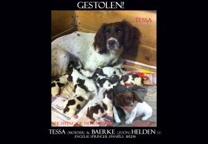 HELDEN Springer Spaniëls TESSA en BAERKE  gestolen 8-12-14   sdh copy