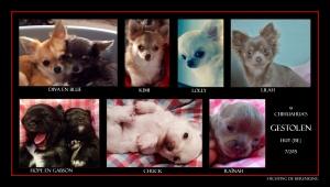 HUY 9 chihuahua's gestolen 7-2-15 sdh